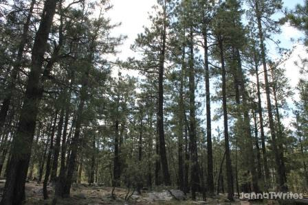 05-29 Tall Trees