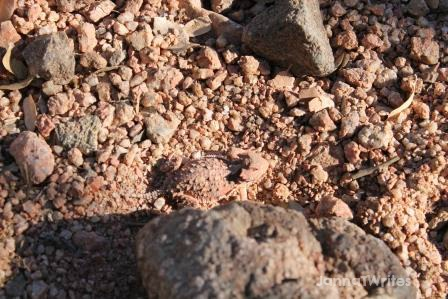 Do you see the horned toad?  I almost didn't, but it caught my eye when it scurried to this bigger rock.