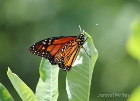 07-02 Monarch Butterfly