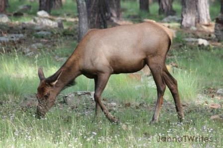 08-28 Single Elk