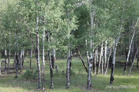Aspens in Apache-Sitgreaves Forest (AZ)
