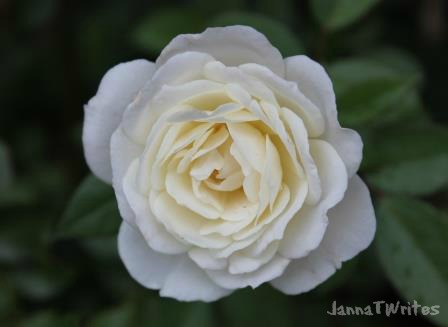 03-10 Rose