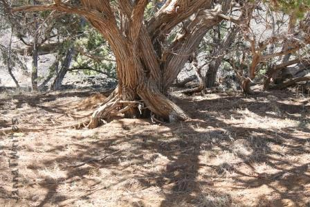 04-25 Twisted Tree (Red Mountain)