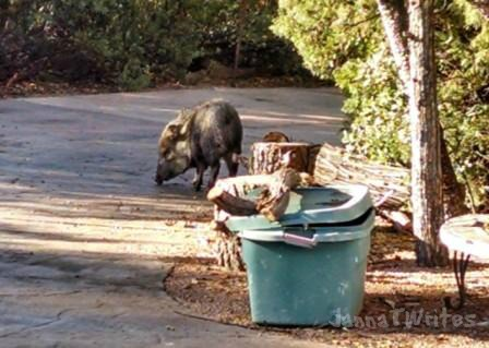 "This photo doesn't really have anything to do with this post, but I read somewhere that blog posts should have photos.  Since I break all the other ""good blogging"" rules- especially the ""be relevant"" one- I figured I should show you our javelina visitor we had last week."
