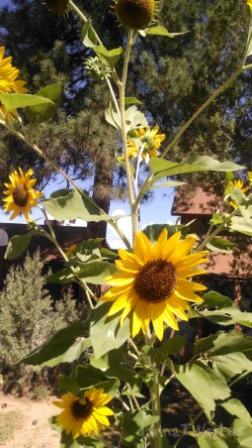 """So, I just thought """"happy thoughts"""" instead.  What could be happier than a gorgeous 6-ft tall Sunflower stalk?"""