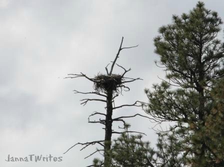 Eagle's nest near Woods Canyon Lake (AZ)