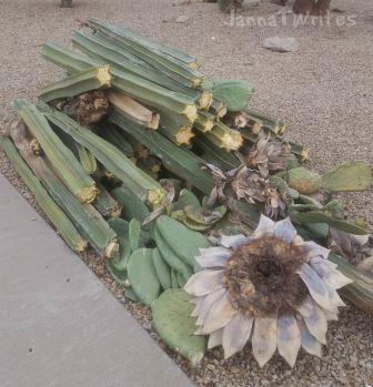 Monsoon storm broke some Mexican Organ Pipe and Prickly Pear cacti... we finished them off